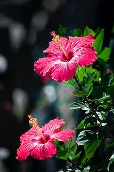 Farbenprächtiger Allrounder: Hibiskus pflanzen, pflegen & vermehren