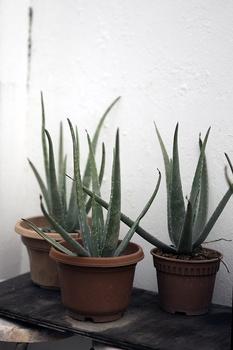 Aloe Vera, Echte Aloe – so pflegst du die Heilpflanze richtig