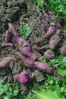 Süßkartoffeln anbauen