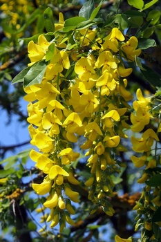 Wie giftig ist Goldregen (Laburnum)?