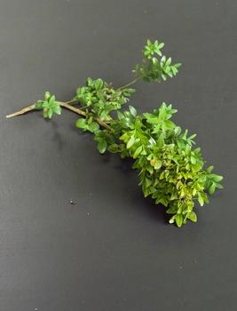Buchsbaum vermehren mit Stecklingen