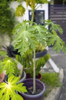 Papaya pflanzen und pflegen