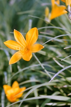 Taglilien - Pflege, Standort, vermehren