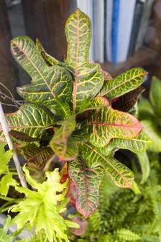 Kroton, Wunderstrauch pflanzen und pflegen