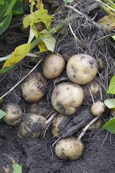 Mischkultur: Gute und schlechte Nachbarn für Kartoffeln