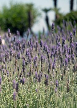Lavendel pflanzen, pflegen & verme