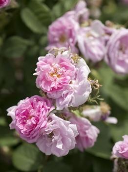 Rosen richtig gießen – wann, wie viel und wie oft?