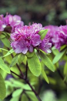 Rhododendron düngen