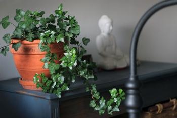 Efeu als Zimmerpflanze richtig pflegen