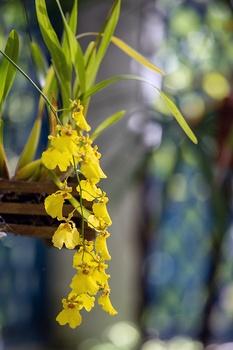 Hängende Orchideen ohne Erde