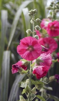 Stockrosen pflanzen und pflegen