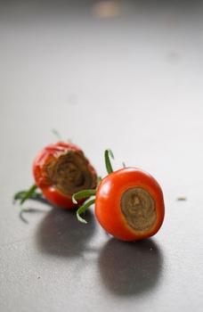 Blütenendfäule bei Tomaten