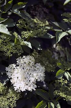 Holunderblüten richtig trocknen – eine Anleitung