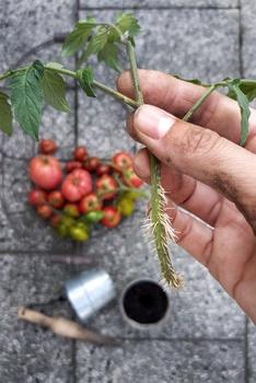 Tomatenpflanzen aus Geiztrieben ziehen | Pflanzenvermehrung