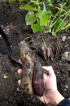 Yacon – Von der Pflanzung bis zur Ernte