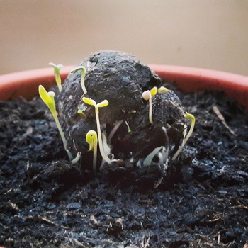 Keimender Seedball