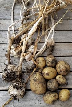 Was kann man nach Kartoffeln pflanzen? | Fruchtfolge