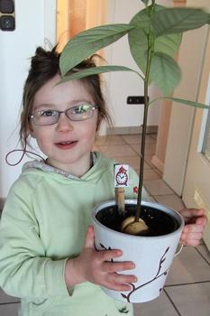 Gärtnern mit Kindern: Avocado-Bäumchen