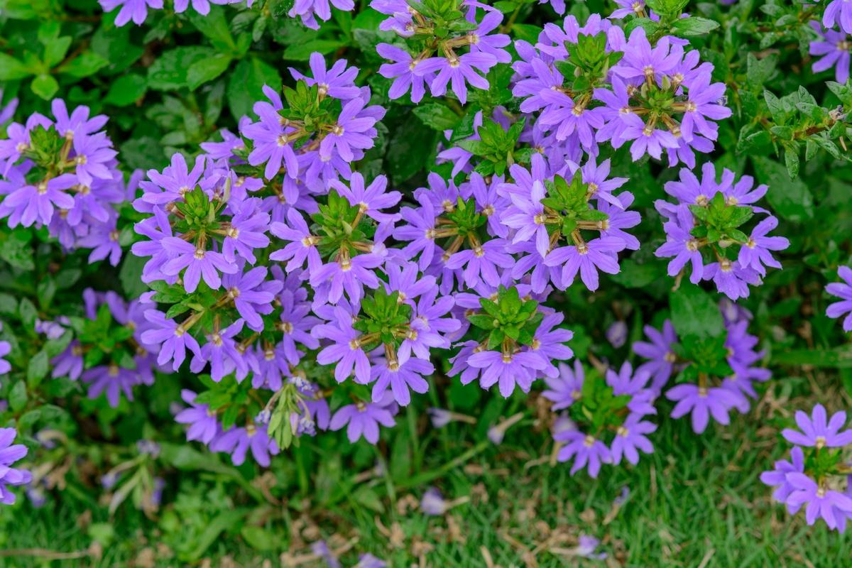 Wunderschone Blaue Facherblume Fur Jeden Garten