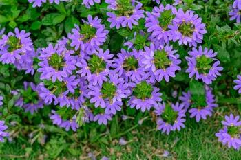 Wunderschöne Blaue Fächerblume für jeden Garten