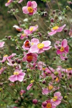 Die 8 schönsten Dauerblüher für den Garten