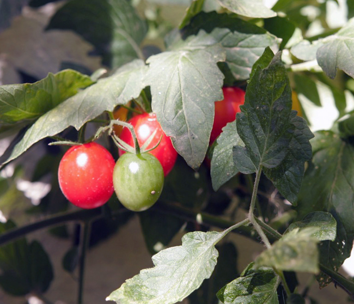 So werden Tomaten im Herbst noch reif