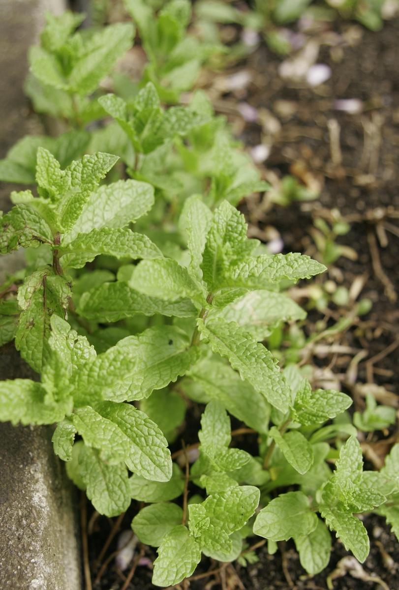 Minze Pflanzen Und Pflegen