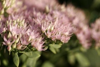 Purpurfetthenne - Blütentraum im Herbst!