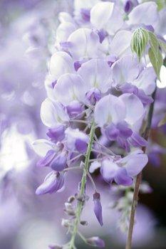 Blauregen, Glyzinie richtig schneiden und zum Blühen bringen