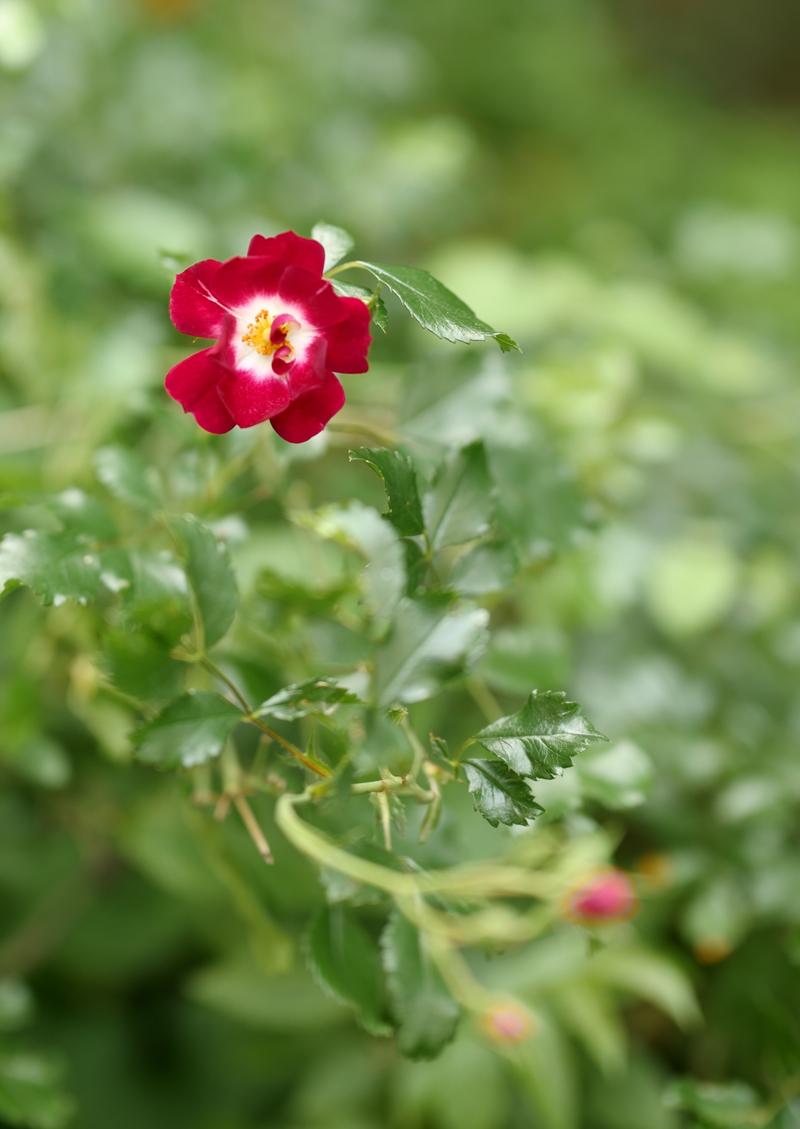 Wollen hoch hinaus: Rambler Rosen