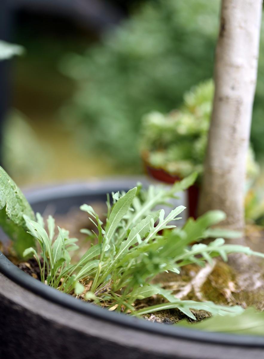 Geliebte Rucola pflanzen #MS_98