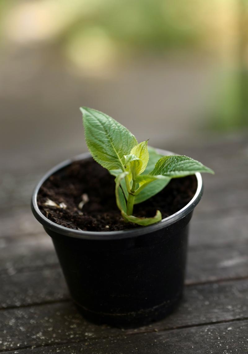 Hortensien durch Stecklinge selber vermehren