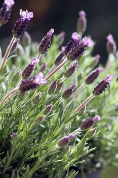 Lustige Blütenbüschel: Der Schopflavendel trägt seinen Namen zu Recht