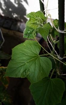 Gurken richtig gießen und wässern