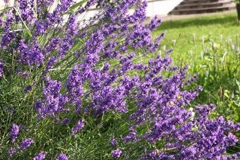 Wie Du Lavendel nach der Blüte richtig schneidest