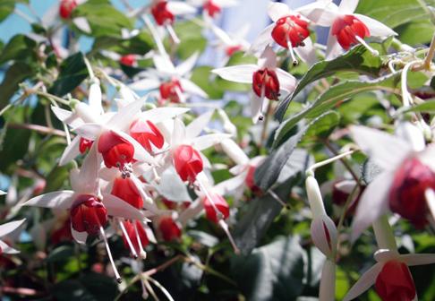 Stecklingsvermehrung: Balkon- und Kübelpflanzen fürs nächste Jahr