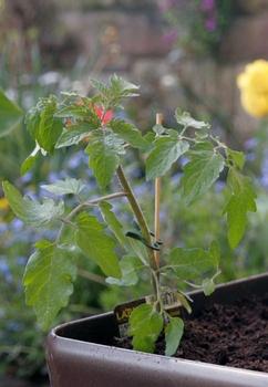 Tomaten in Kübel pflanzen