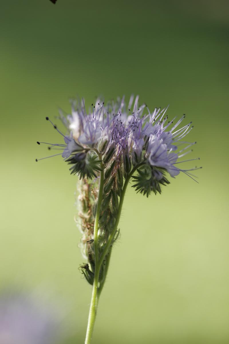 Büschelschön oder Bienenfreund für Garten oder den Balkon