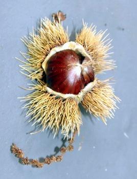Esskastanien-Baum: Standort, Pflege, Erntezeit der Früchte