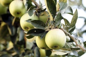 Gartentipp fürs Ernten von Äpfeln