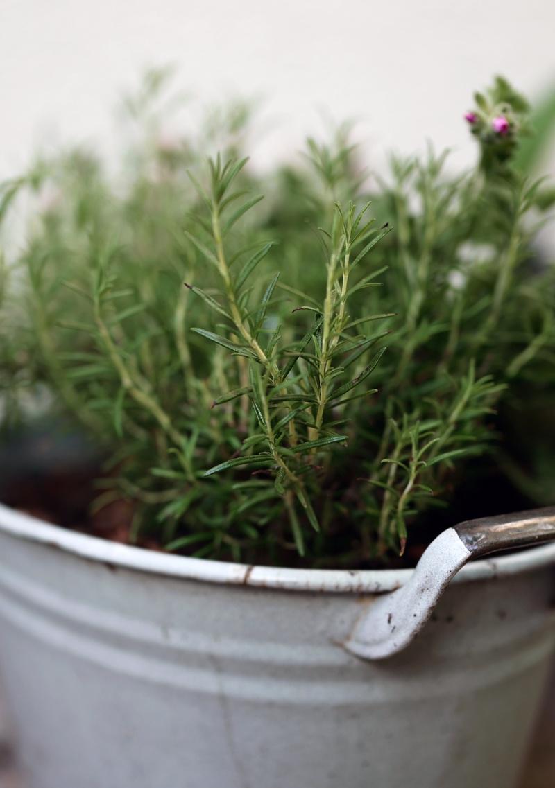 Rosmarin pflanzen, pflegen, schneiden ernten