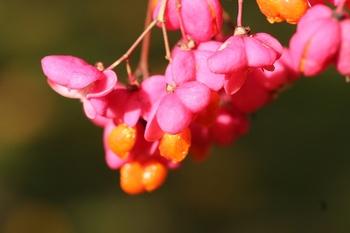 Pfaffenhütchen - schönes Wildgehölz für den Garten