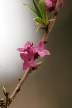 Blühende Büsche im zeitigen Frühjahr