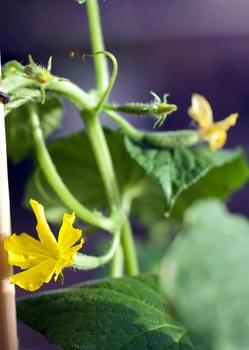 Gurken im Topf anbauen: pflanzen, pflegen und die richtigen Sorten