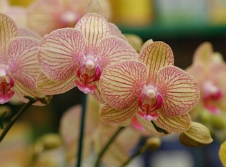 Orchideen - pflegeleichte Schönheiten