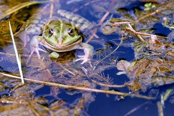 Tiere im Teich: diese Insekten, Frösche, Molche und Fische leben im Teich
