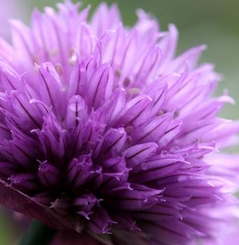 Unverzichtbar im Kräuterbeet: Schnittlauch lecker und schön