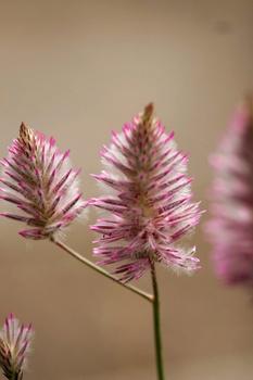 Australischer Federbusch - ausgefallene Pflanze für Beet und Pflanzkübel