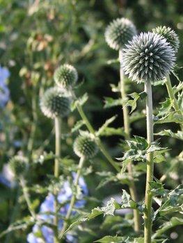 Spröde Schönheit im Garten: die Kugeldistel