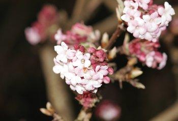 Blüht schon im zeitigen Frühjahr: Der Winterschneeball